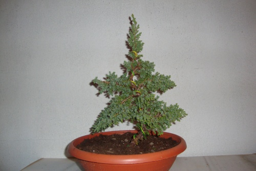 Bonsai junipero procumbes - javel