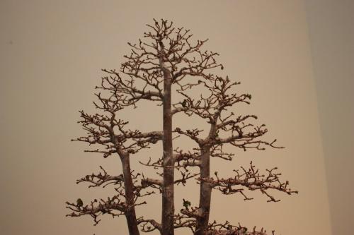 Bonsai Parte superior de este Olmo de tres troncos - torrevejense