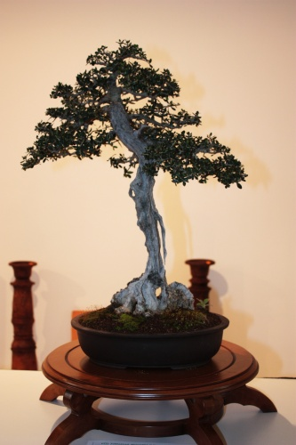 Bonsai 4909 - torrevejense