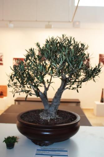 Bonsai Olivo bonsai con doble tronco - Elche Club Bonsai - torrevejense