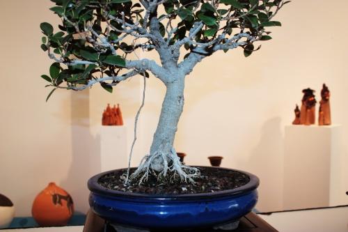 Bonsai Visto mas de cerca tambien se pueden ver las raices que salen del tronco - torrevejense