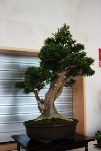 Bonsai 4941 - torrevejense