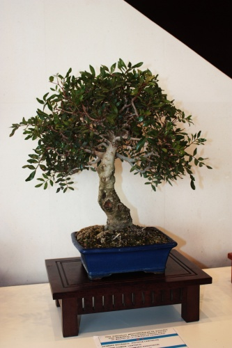 Bonsai 4961 - torrevejense
