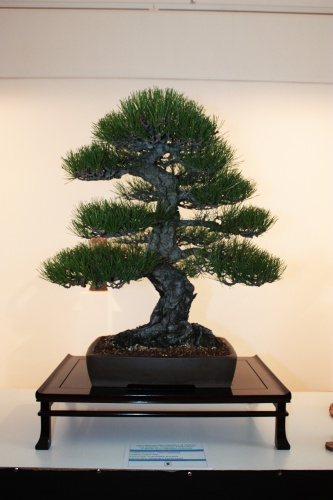 Bonsai 4973 - torrevejense