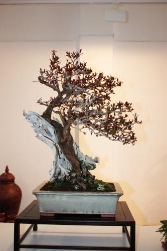 Bonsai 4977 - torrevejense