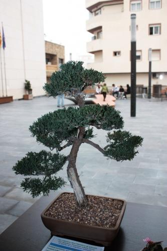 Bonsai 4989 - torrevejense