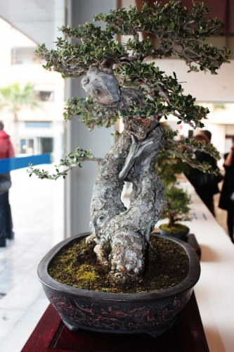 Bonsai 5001 - torrevejense