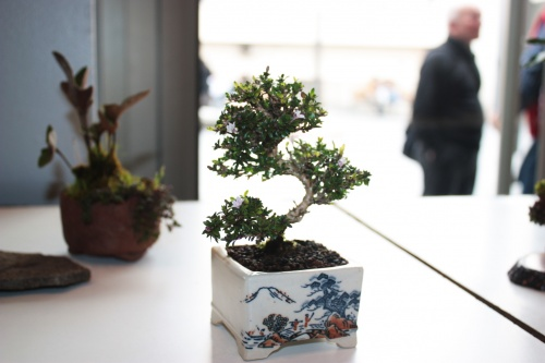 Bonsai 5005 - torrevejense