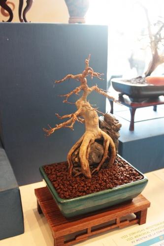 Bonsai 5013 - torrevejense