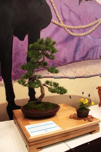 Bonsai Pino de cinco agujas - Pinus Pentaphilla - Club bonsai Villena - torrevejense