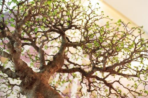 Bonsai Olmo Chino - Ramificacion - Club bonsai Villena en Torrevieja - torrevejense
