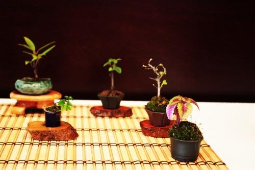 Bonsai Mames del tamaño de un detal - torrevejense
