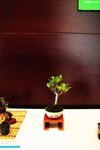 Bonsai Ficus Retusa - Ficus Mame - torrevejense