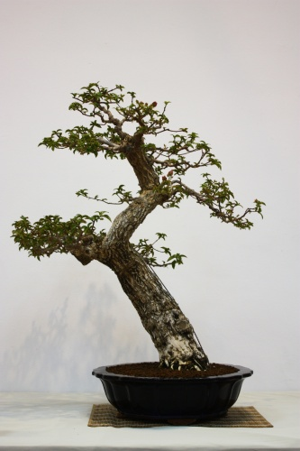 Bonsai Bouganvilea Spectabilis - Bonsai Alicante - CBALICANTE