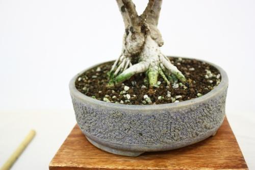 Bonsai Raices y Maceta Bonsai Olivo - Olea Europaea - Fco Cebrian - CBALICANTE