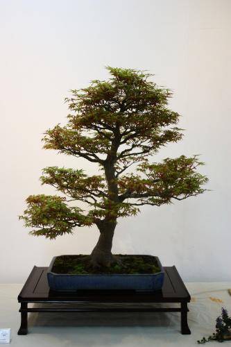 Bonsai Acer Palmatum de Fco Garcia Pavia - 2010 - CBALICANTE