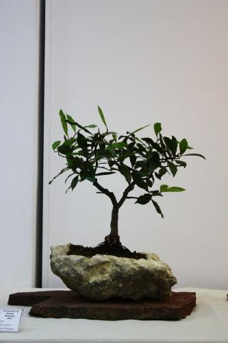 Bonsai Llorer - Laurus Nobilis de Antonio Herrador - 2010 - CBALICANTE