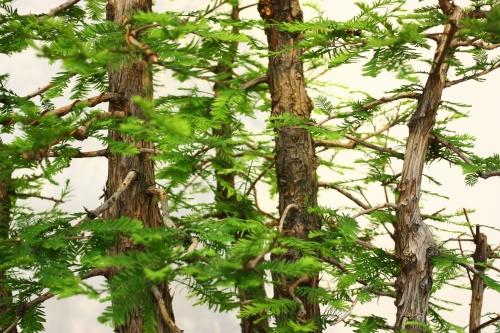Bonsai Bosque de Juan Ortega - Taxodium Disticum - CBALICANTE