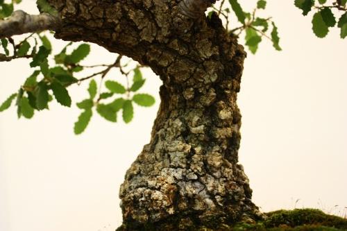 Bonsai Roure - Quercus Robur - Jose Antonio Terol - CBALICANTE
