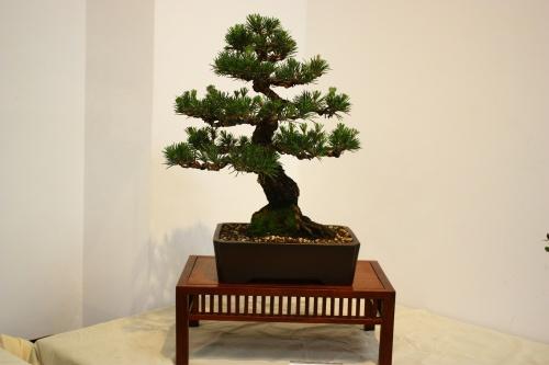Bonsai Pinus Thumbergii - Angel Gonzalez 2010 - CBALICANTE