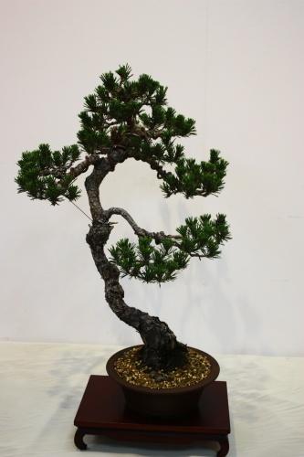 Bonsai Pinus Thumbergii - Fernando Gambin 2010 - CBALICANTE