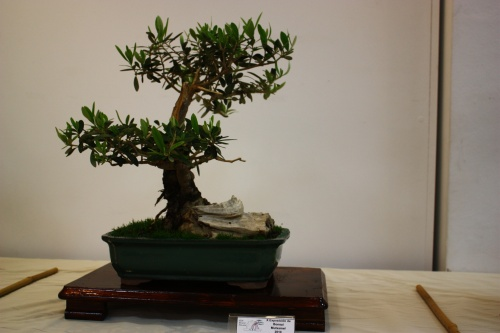 Bonsai Olea Europaea - Antonio Herrador 2010 - CBALICANTE