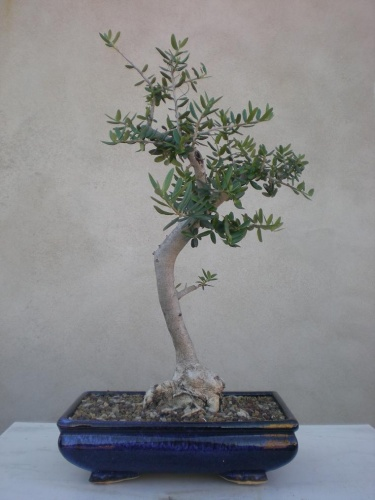 Bonsai Acebuche-B - Salva