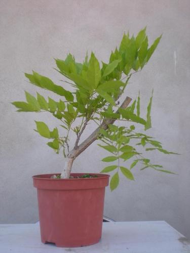 Bonsai Whisteria - Salva