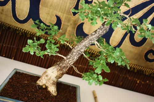 Bonsai Detalle del Tronco - Quercus Faginea - Amigos Lorca 2010 - Amigos del Bonsai Lorca