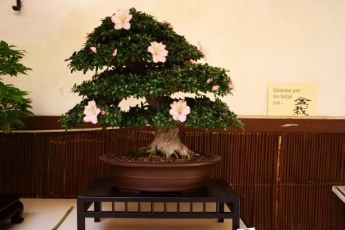 Bonsai Rododendro o Rhododendron Gyoten - Lorca 2010 - Amigos del Bonsai Lorca