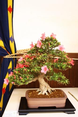 Bonsai Rododendro Chinzan - Juan Gomez - Lorca 2010 - Amigos del Bonsai Lorca