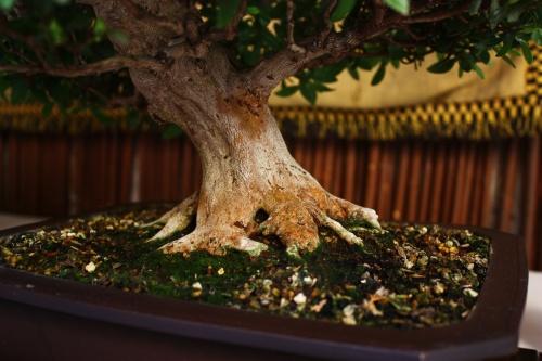 Bonsai Rododendro Indicum - Juan Gomez - Lorca 2010 - Amigos del Bonsai Lorca