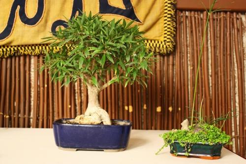 Bonsai Ficus Nerifolia - Tomas Lopez Hernandez - Amigos Bonsai Lorca 2010 - Amigos del Bonsai Lorca