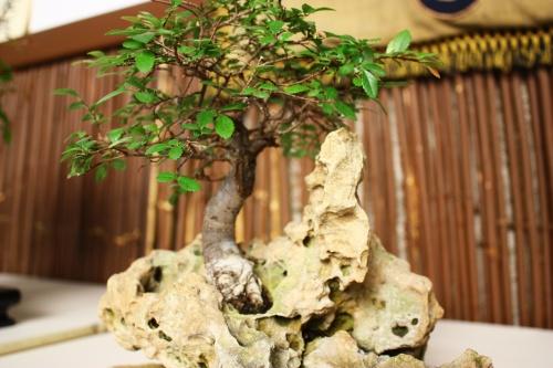 Bonsai Ulmus Parvifolia sobre Roca - Amigos del Bonsai Lorca