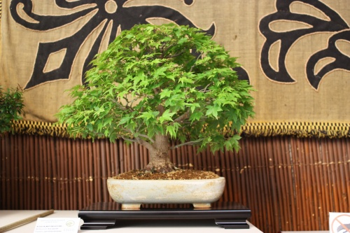 Bonsai Acer Palmatum Kashima - Juan Gomez Hernandez - Amigos Bonsai Lorca 2010 - Amigos del Bonsai Lorca