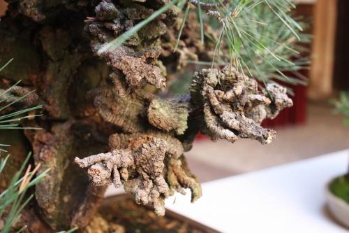 Bonsai Otro detalle del tronco - Pinus Thumbergi Corticosa - Amigos del Bonsai Lorca