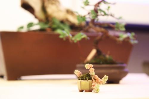 Bonsai Diminuta Planta y diminuta maceta - Amigos del Bonsai Lorca