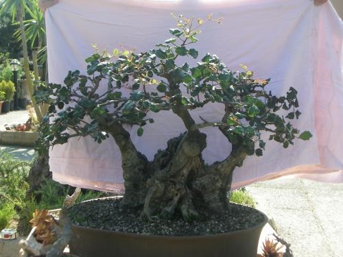Bonsai 5841 - mihogo