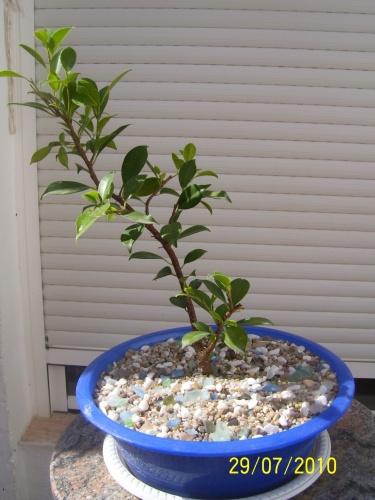 Bonsai Ficus retusa ( esqueje en agua del 2008 ) - SARRUT