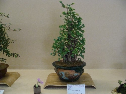 Bonsai Gingko - Vila-real