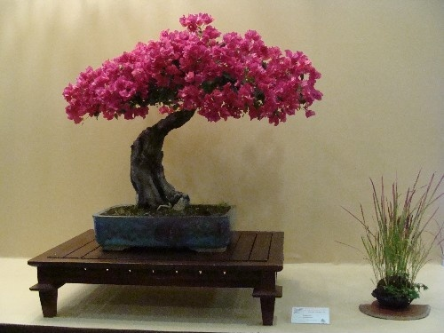 Bonsai Buganvilla - Vila-real
