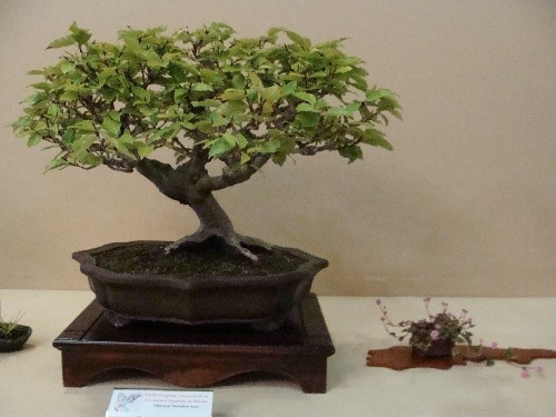 Bonsai Haya - Vila-real