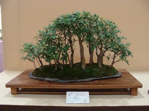 Bonsai Bosque de Ligustrum - Vila-real