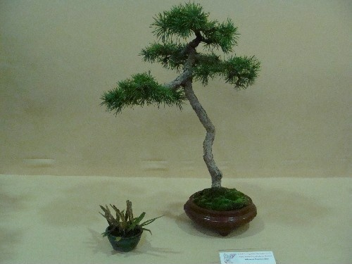 Bonsai Pino - Vila-real