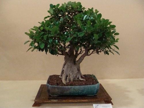 Bonsai Ficus retusa - Vila-real