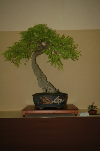 Bonsai 7057 - aebonsai