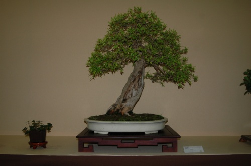 Bonsai 7061 - aebonsai