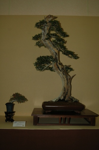 Bonsai 7069 - aebonsai