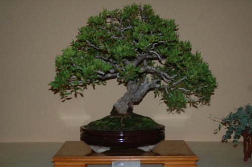 Bonsai 7085 - aebonsai