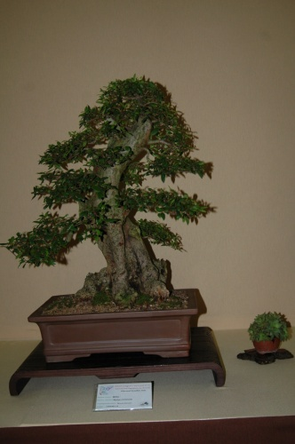 Bonsai 7101 - aebonsai